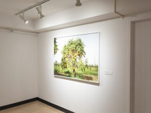 Installation with a large photograph depicting a citrus tree.